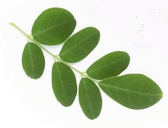 feuilles de moringa santé