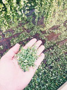 feuilles de Moringa séchées