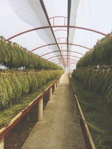 Séchage feuilles de Moringa